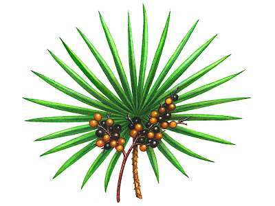 Saw palmetto's effectiveness at treating hair loss